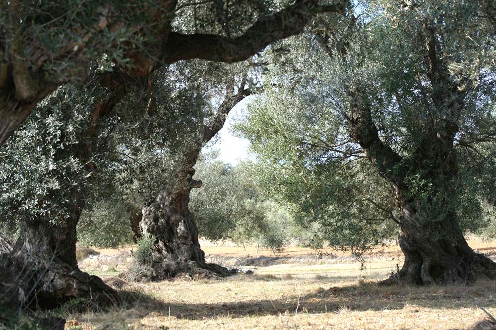 オリーブの木について
